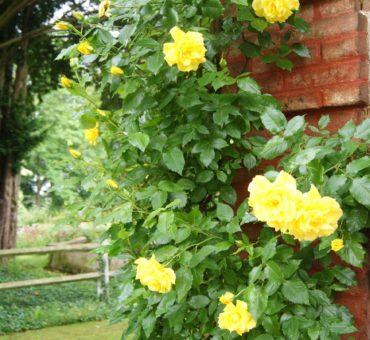 Jardin d'ornement : choisir vos plantes grimpantes