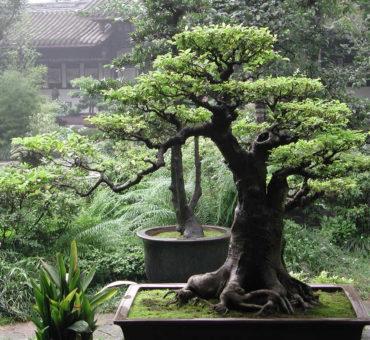 Egayer son jardin avec des bonsaïs