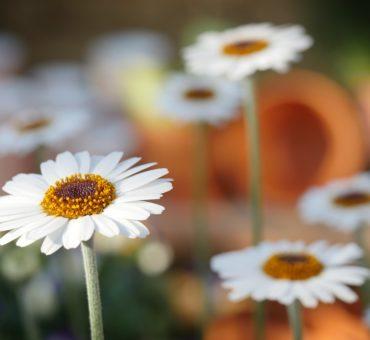 Comment planter des marguerites dans votre jardin ?